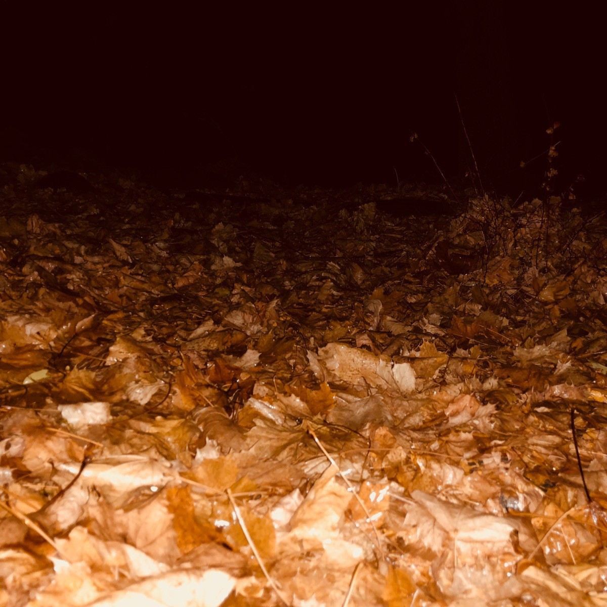Wet leaves at night